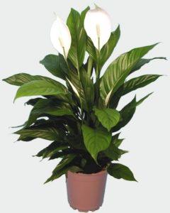 Домашние растения  магические обереги